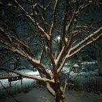Kirsikkapuu Talvi